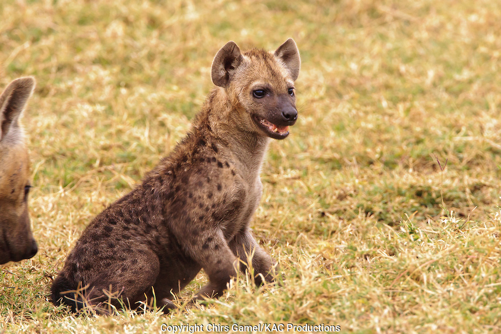 Spotted hyaena cub in the grass.