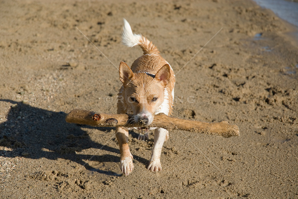 small Jack Russell Terrier carrying a large stick at the beach