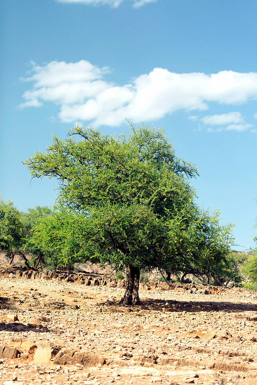 AOULOUZ, MOROCCO May 23rd 2016 - Argan nuts growing on an argan tree near Aoulouz, Taliouine & Taroudant Province, Souss Massa Draa region of Southern Morocco.