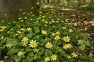Lesser Celandine - Ranunculus ficaria