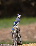 NOISY, BUT BEAUTIFULL BLUE JAY