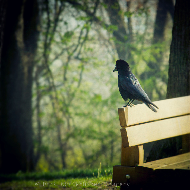 A crow sitting on a bench in the morning light