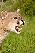 Mountain lion, Felis (Puma) concolor, native to Canada, the USA, Mexico, Central and South America