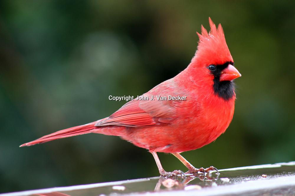Northern Cardinal,  Cardinalis cardinalis, (male) standing on wet rail