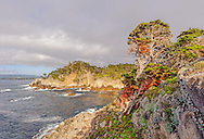 Cypress Tree (Cupressus macrcarpa) Point Lobos State Reserve, Carmel, California USA