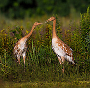 One Whooping Crane looks to the other over a piece of food.  Nine Whooping Cranes were raised by a costumed aviculturist so that there will be no human imprint during the Direct Autumn Release program.  The program raises the chicks from hatch until their release in the fall in an reintroduction effort to increase the numbers of the rare Whooping Crane.