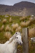 Horse, Ireland