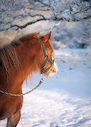 Chestnut pony photographed in the snow