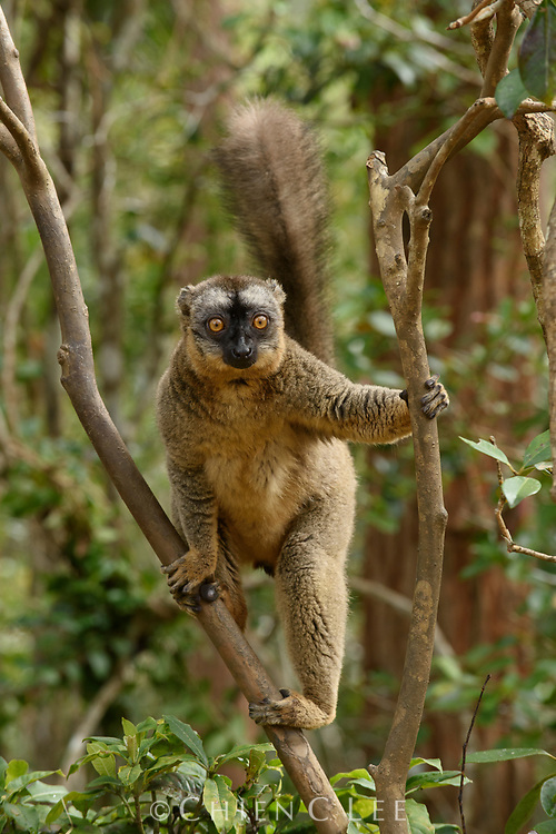 Red-fronted Brown Lemur (Eulemur rufifrons)
