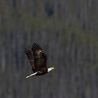 bald eagle in flight, kananaskis, ab