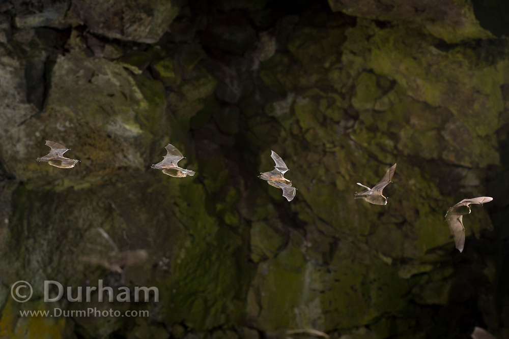 Bat flying in a cave at night captured in single exposure with a stroboscopic flash sequence. © Michael Durham