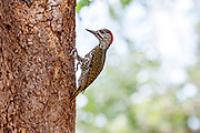 Golden-tailed Woodpecker, Kruger, South Africa