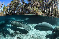 Several manatees know exactly where the warmest place in the freshwater springs is on this January winter day. Florida manatees come to Three Sisters Springs during the cooler months to rest and stay warm. This split-level image shows both land and underwater views. Taken in the Crystal River National Wildlife Refuge, Kings Bay, Crystal River, Citrus County, Florida USA. Florida manatee, Trichechus manatus latirostris, a subspecies of the West Indian manatee