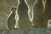 Erdmännchen (Suricata suricatta) leben in Gruppen von durchschnittlich zehn Tieren, die die anfallenden Aufgaben wie z.B. Wache halten, Jungtiere behüten und führen, für Fortpflanzung sorgen und Gangsystem instandhalten, unter sich aufteilen. Morgens unmittelbar nach dem Verlassen des Baus sitzt aber die ganze Gruppe gemeinsam in den ersten Sonnenstrahlen um sich zunächst aufzuwärmen. Dieses sogenannte thermoregulatorische Verhalten ist nötig, da die mit bis zu 800 g Körpergewicht recht kleinen Tiere in den kalten Nächten im südlichen Afrika auskühlen. |  Suricate or Slender-tailed Meerkat (Suricata suricatta)