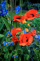 Red Oriental poppies bloom alongside Himalayan Blue poppies in Kodiak, Alaska garden