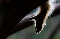 This is the Hand of a Sichuan Golden Snub-nosed Monkey, Rhinopithecus roxellana, Yangxian Nature Reserve, Shaanxi, China