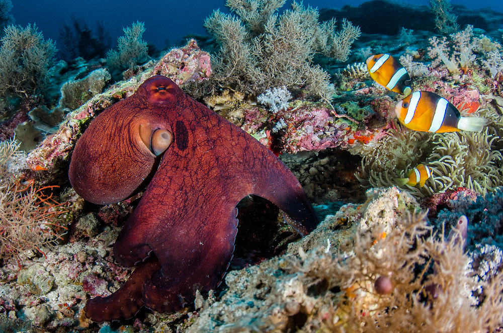 Day Octopus (Octopus cyanea) &amp; Clark's Anemonefish (Amphiprion clarkii) &amp; Magnificent Sea Anemone (Heteractis magnifica)<br /> Raja Ampat<br /> West Papua<br /> Indonesia