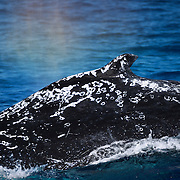 Humpback whale (Megaptera novaeangliae) with significant scarring on its dorsal surface. Note the fresh scar along the dorsal ridge near the right edge of the image. Like a prism, the whale's breath has split the sunlight into a rainbow.