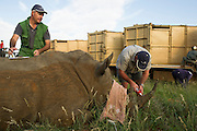 White Rhinoceros (Ceratotherium simum) darted for relocation. With Conservation Solutions Kester Vickery & Vet Andre Uys inserting micro chip into horn<br /> Private Game Reserve<br /> SOUTH AFRICA<br /> RANGE: Southern & East Africa<br /> ENDANGERED SPECIES