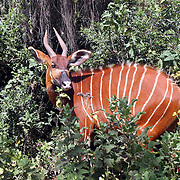 January 30, 2004 - A rare mountain bongo lives in protection at the Mount Kenya Game Ranch in central Kenya. The small population of protected bongo currently living in Kenya were joined by 18 other bongos who have been returned to the Mount Kenya area in a major step to save the species from extinction. Photo by Evelyn Hockstein