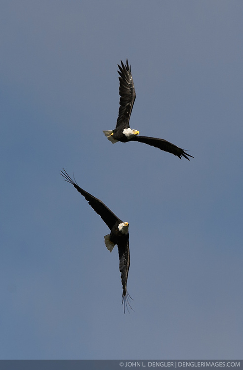 A pair of bald eagles (Haliaeetus leucocephalus) fly above the Chilkoot River in the Chilkoot Lake State Recreation Site near Haines, Alaska.