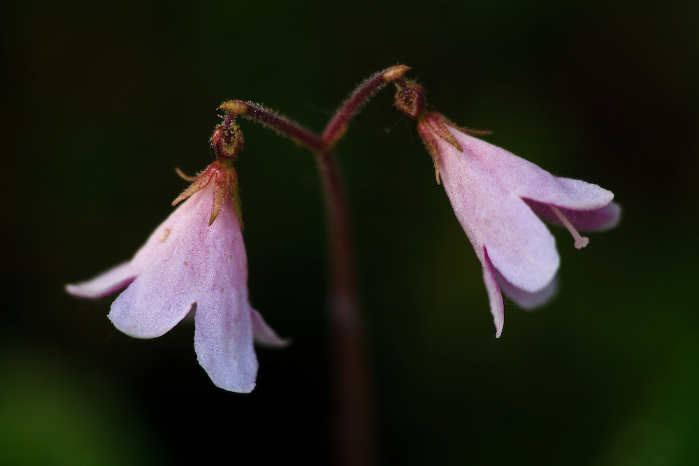 Close-up of twin flower (Linnaea borealis) at Wonder Lake campground, Denali National Park, Alaska