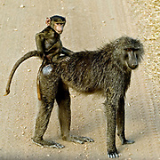 Mother and baby Olive Baboon (Papio anubis) from Serengeti, Tanzania.