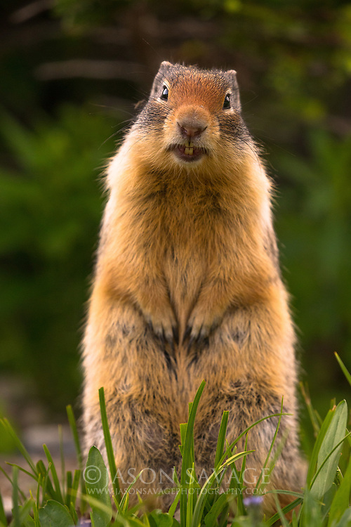 Columbian Ground Squirrel in Glacier National Park