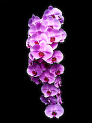 Blooming purple Orchid on black background