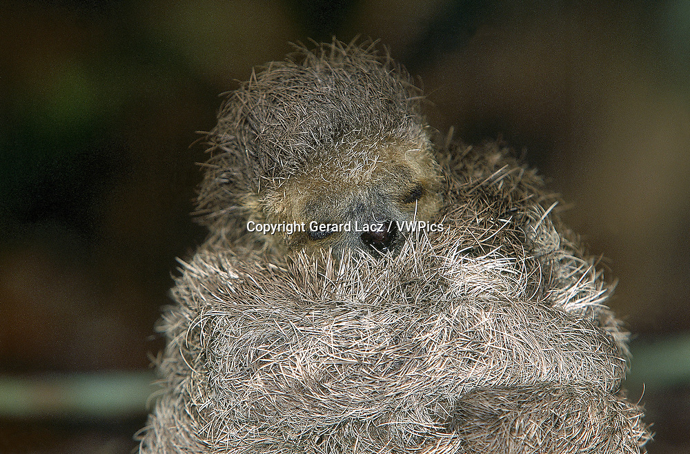 MANED THREE TOED SLOTH bradypus torquatus, BABY, PANTANAL IN BRAZIL