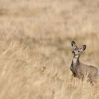 mule deer doe in tall grass