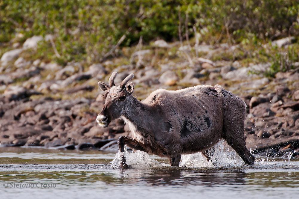 CANADA, Nunavut.Barren-ground caribou (Rangifer tarandus groenlandicus)