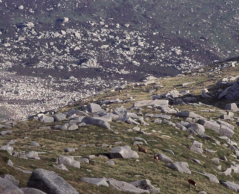 Red Deer cross a ridge of Goatfell Mountain on Arran Island, Scotland.