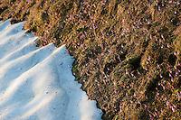 Dwarf Snowbell; Soldanella pusilla, the area around the Pfälzer Hütte, Liechtenstein