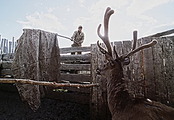 The worker of a private farm drives in a deer to the machine for cutting antlers on a deer-farm in the Altai (eastern Siberia) village of Mendur-Sokon, Russia, 23 July 2001. Local population traditionally sell pants (the young, just grown antlers of a deer) to farmacilogical factories, which produce extremely effective biological active medicine Pantacrin with high tonic effect. The antlers are sold by local people for about $150 per kilo, which cost up to $500 on Asian markets..