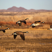 Looks like a wild goose chase as these Canada geese take flight at the Bosque del Apache Wildlife Refuge in San Antonio, New Mexico.