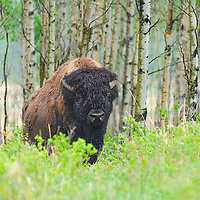 A plains bison stands at the edge of an aspen grove in Alberta.