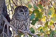 USA, Colorado, Barred Owl (Strix varia) CAPT