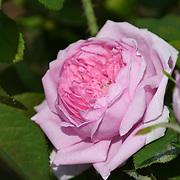 Pink flower at Bernie Spain Gardens on July 21 2018, London, UK.