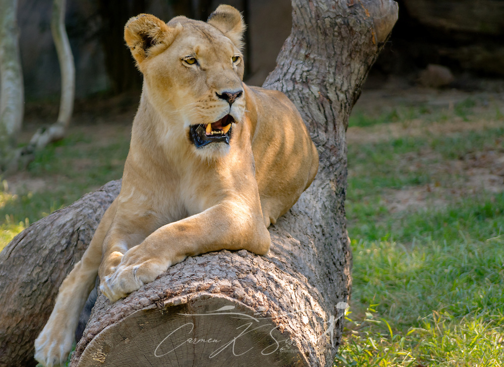 An African lioness (Panthera Leo) keeps an eye on tourists at the Memphis Zoo, September 8, 2015, in Memphis, Tennessee. The zoo features more than 3,500 animals representing more than 500 species; it is one of only four zoos in the nation to feature a panda exhibit. (Photo by Carmen K. Sisson/Cloudybright)