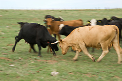 cows fighting by bumping heads