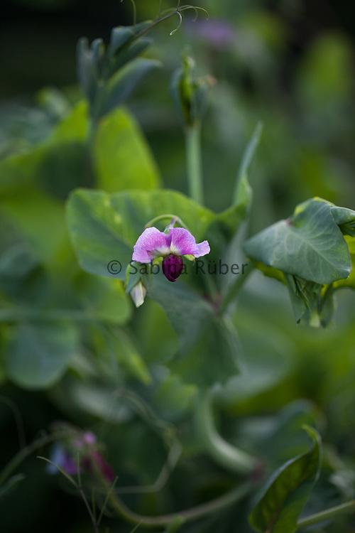 Pisum sativum 'Blauwschokker' - purple podded pea