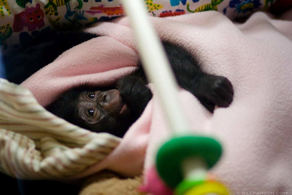 A baby chimpanzee rests in the nursery ward at the San Diego Zoo
