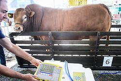 Pesagem de animais na 38ª Expointer, que ocorrerá entre 29 de agosto e 06 de setembro de 2015 no Parque de Exposições Assis Brasil, em Esteio. FOTO: Vilmar da Rosa/ Agência Preview