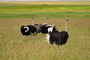 A family of wild ostriches (Struthio camelus). This group consists of females and a male. The ostrich, a flightless bird, is the world's largest and tallest bird, being around 2.5 metres tall. It inhabits plains and dry areas in central and southern Africa, feeding on seeds, flowers, leaves and plant stems. When threatened, it can reach a top speed of around 64 kilometres per hour. Photographed in the Ngorongoro Conservation Area, Tanzania.