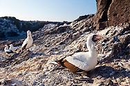 The Southeastern Island of Espanola in the Galapgos National Park, in Ecuador, South America which is home to sea lions, marine iguanas, blue footed boobies, and Nazca Boobies plus many different species of animals and birds.  Here, a Nazca Boobie colony of nesting birds.