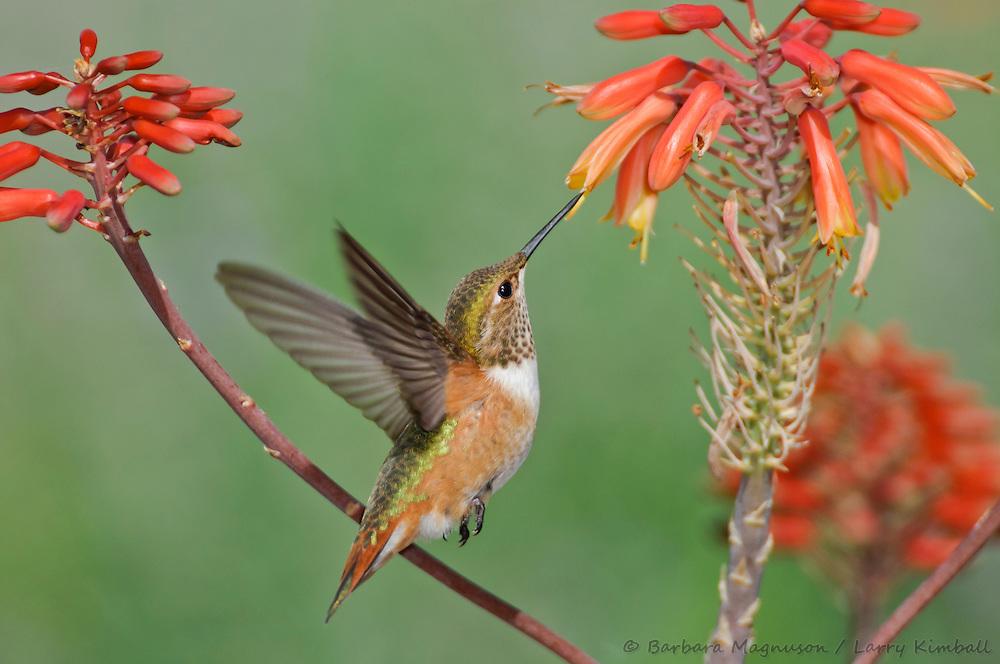 Rufous Hummingbird [Selasphorus rufus] female visiting aloe flowers; Fremont County, Colorado