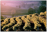 Copyright JIm Rice ©2013.EARLY MORNING GRAPE VINES ..HUNTER VALLEY .AUSTRALIA