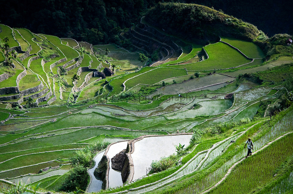 PHILIPPINES (Batad, Province of Ifugao). 2009. A man walking through the rice terraces of Batad.