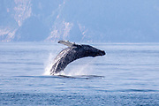 Humpback whale breaching in Kenai Fjords National Park, Alaska.